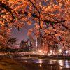 金沢・ひがし茶屋街周辺の夜桜を楽しむ。本日8日から金沢城・兼六園のライトアップも始まります!